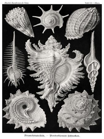Haeckel Plate 53