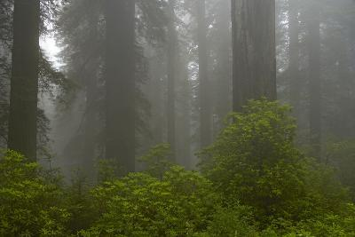 Coastal Redwood Forest in Fog--Photographic Print