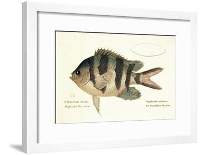 Cobra Fish, from group of color lithographs of fishes animals, 1830.--Framed Art Print