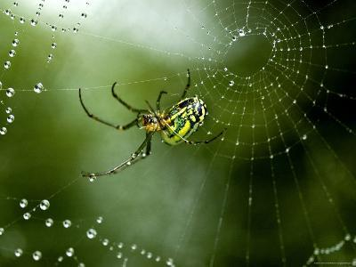 Cobweb Weaver Spider Rests on his Dew Covered Web, Groton, Connecticut-Todd Gipstein-Photographic Print