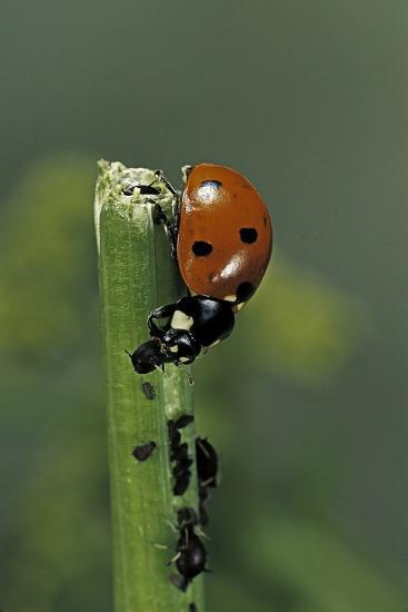 Coccinella Septempunctata (Sevenspotted Lady Beetle) - Devouring Aphids-Paul Starosta-Photographic Print
