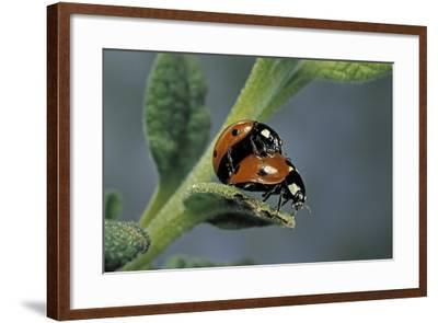 Coccinella Septempunctata (Sevenspotted Lady Beetle) - Mating-Paul Starosta-Framed Photographic Print