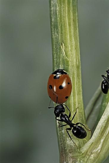 Coccinella Septempunctata (Sevenspotted Lady Beetle) - with Ant-Paul Starosta-Photographic Print