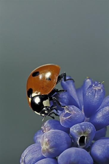 Coccinella Septempunctata (Sevenspotted Lady Beetle)-Paul Starosta-Photographic Print