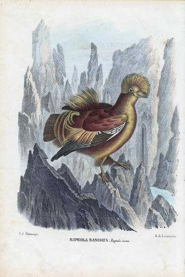 Cock-Of-The-Rock, 1863-79-Raimundo Petraroja-Giclee Print