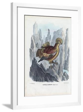 Cock-Of-The-Rock, 1863-79-Raimundo Petraroja-Framed Giclee Print