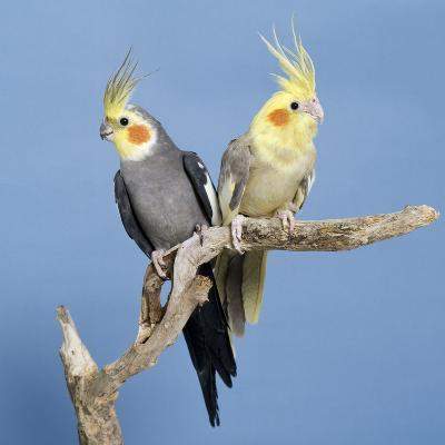 Cockatiel Birds, Two Perched on Branch--Photographic Print