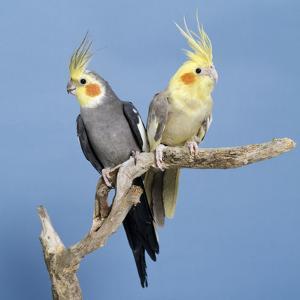 Cockatiel Birds, Two Perched on Branch
