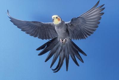 Cockatiel in Flight--Photographic Print