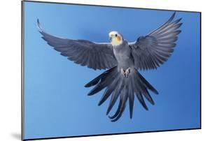 Cockatiel in Flight