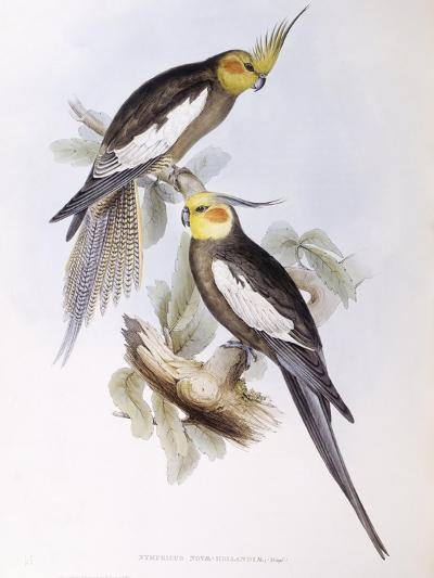 Cockatiel (Nymphicus Hollandicus)-John Gould-Giclee Print