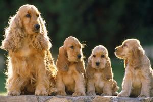 Cocker Spaniel Dogs, Adult and Puppies Sitting in a Row