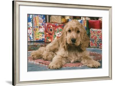 Cocker Spaniel, Lying by Presents--Framed Photographic Print