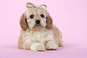 Cockerpoo Puppy (7 Weeks Old) with Bandaged