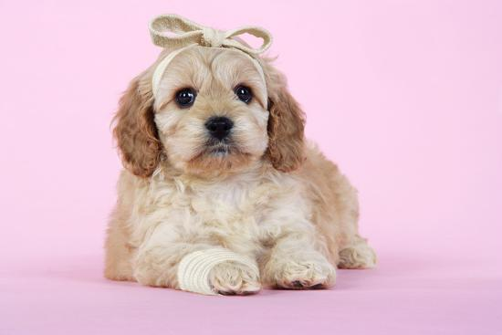 Cockerpoo Puppy (7 Weeks Old) with Bandaged--Photographic Print
