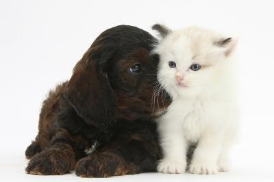 Cockerpoo Puppy and Ragdoll-Cross Kitten-Mark Taylor-Photographic Print