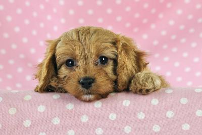 Cockerpoo Puppy--Photographic Print