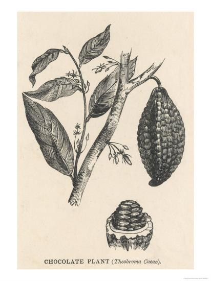 Cocoa (Or Chocolate) Plant Bearing Fruit Theobroma Cacao--Giclee Print