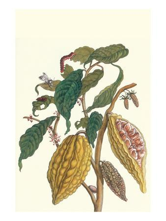 Cocoa Plant with Southern Army Worm-Maria Sibylla Merian-Premium Giclee Print