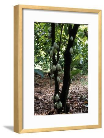 Cocoa Plantation, South Guatemala