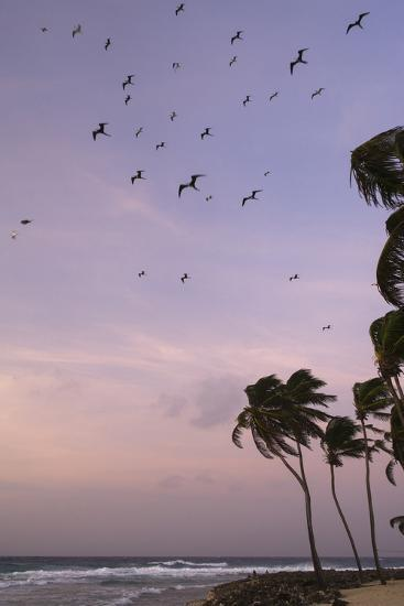 Coconut Palm and Magnificent Frigatebird, Half Moon Caye, Lighthouse Reef, Atoll, Belize-Pete Oxford-Photographic Print