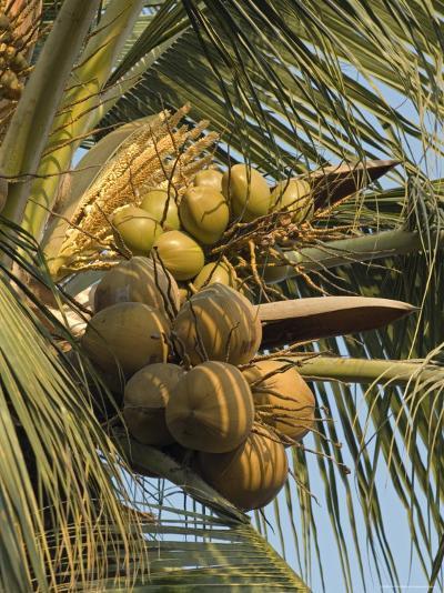 Coconuts Cluster at Los Tules Resort in Puerto Vallarta, Mexico-Rich Reid-Photographic Print