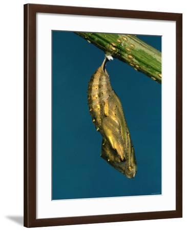 Cocoon Dangling Off the Edge of a Stick--Framed Photographic Print