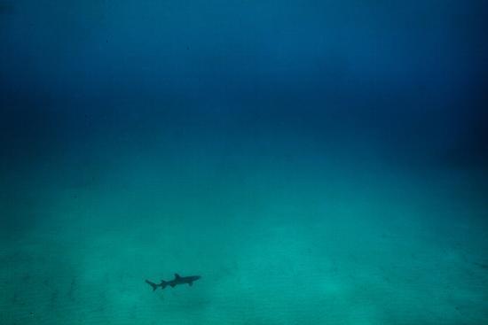 Cocos Island, Costa Rica: A White Tip Reef Shark Cruises the Sandy Bottom-Ben Horton-Photographic Print