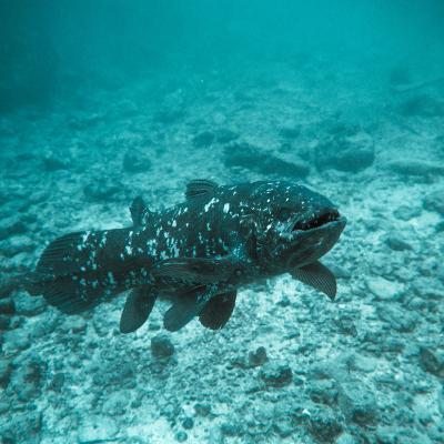 Coelacanth Fish-Peter Scoones-Photographic Print