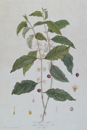 https://imgc.artprintimages.com/img/print/coffea-arabica-coffee-botanical-plate-from-la-botanique-mise-a-la-portee-de-tout-le-monde-by-ni_u-l-pul1pz0.jpg?p=0