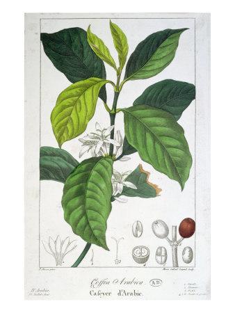 https://imgc.artprintimages.com/img/print/coffea-arabica_u-l-p94ddw0.jpg?p=0