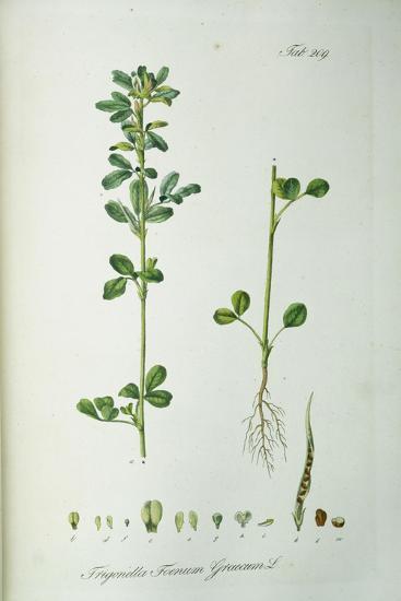 Coffee Bean: 19th Century--Giclee Print