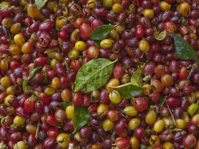 Coffee Beans Harvested at a Plantation on the Side of Masaya Volcano-Karen Kasmauski-Photographic Print
