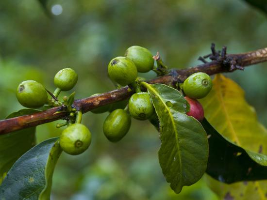 Coffee Beans, Highlands, Papua New Guinea, Pacific-Michael Runkel-Photographic Print
