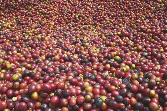 Coffee Cherries-Paul Souders-Photographic Print