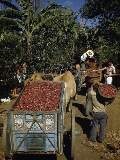 Coffee Growers Fill Decorated Oxcart with Harvested Coffee Beans-Luis Marden-Photographic Print