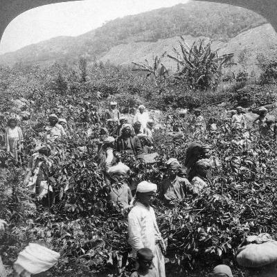 Coffee Picking on Sir Thomas Lipton's Estate, Dambutenne, Sri Lanka, 1903-Underwood & Underwood-Giclee Print