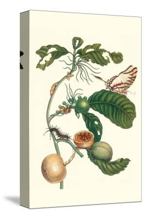 Coffee Tree Leaf with a Glaucolaus Kite Swallowtail Butterfly-Maria Sibylla Merian-Stretched Canvas Print