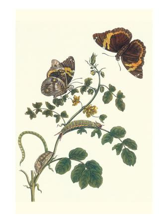 Coffee with Split-Banded Owlet Butterfly-Maria Sibylla Merian-Art Print
