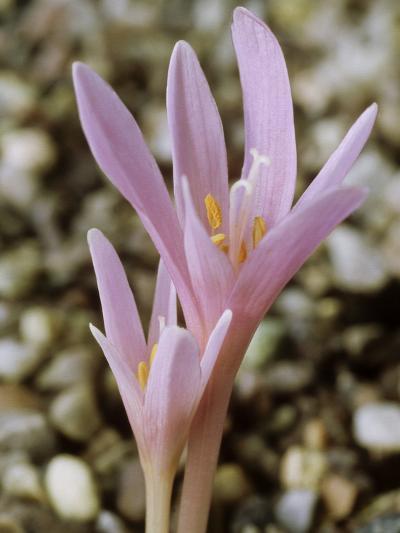 Colchicum Corsicum, October-Chris Burrows-Photographic Print