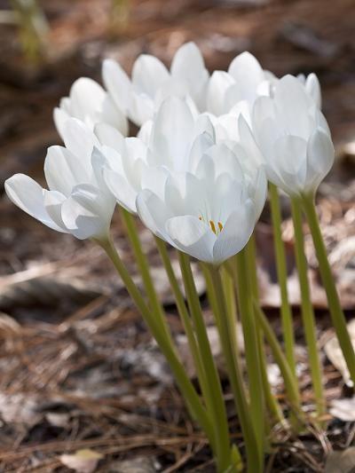 Colchicum speciosum Album-Carol Sheppard-Photographic Print