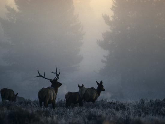 Cold Morning Mist and Rutting Elk Move Through the Sagebrush Meadow-Michael S^ Quinton-Photographic Print