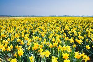 Field with Yellow Daffodils in April by Colette2