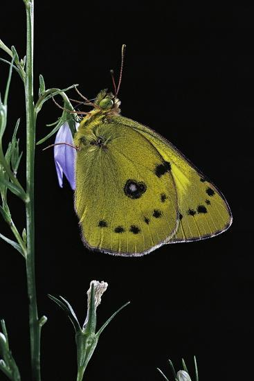 Colias Australis (Berger's Clouded Yellow Butterfly)-Paul Starosta-Photographic Print