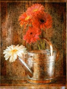 Gerbera Daisies in a Watering Can by Colin Anderson