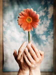 Hands Holding a Gerbera Daisy by Colin Anderson