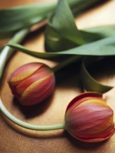 Orange Tulips by Colin Anderson