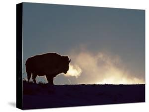 Bison (Bison Bison), Yellowstone National Park, Wyoming, United States of America, North America by Colin Brynn