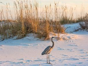 A Great Blue Heron Walks on Fort Pickens Beach in the Gulf Islands National Seashore, Florida. by Colin D Young