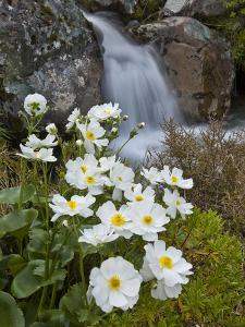 Great Mountain Buttercup (Ranunculus Lyallii) Beside Upper Whitcombe River, Canterbury, New Zealand by Colin Monteath/Minden Pictures